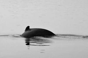 cambodia-kratie-dolphin-1
