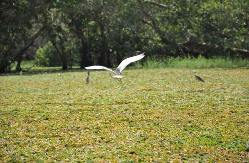 vietnam tra su bird cajuput forest